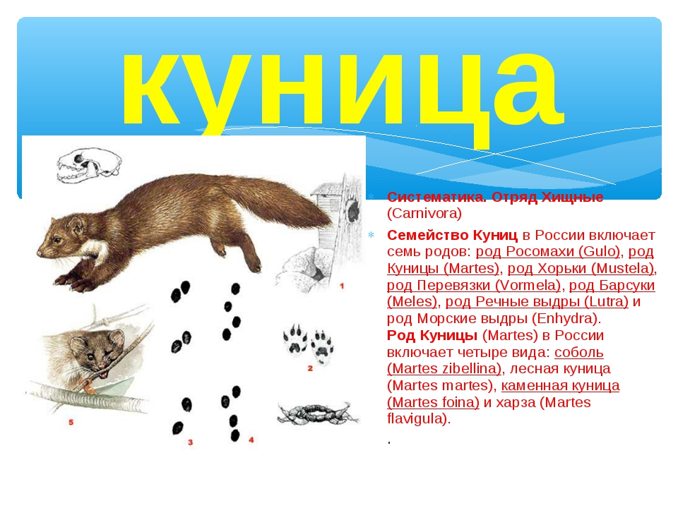 куница Систематика. Отряд Хищные (Carnivora) Семейство Куниц в России включае...