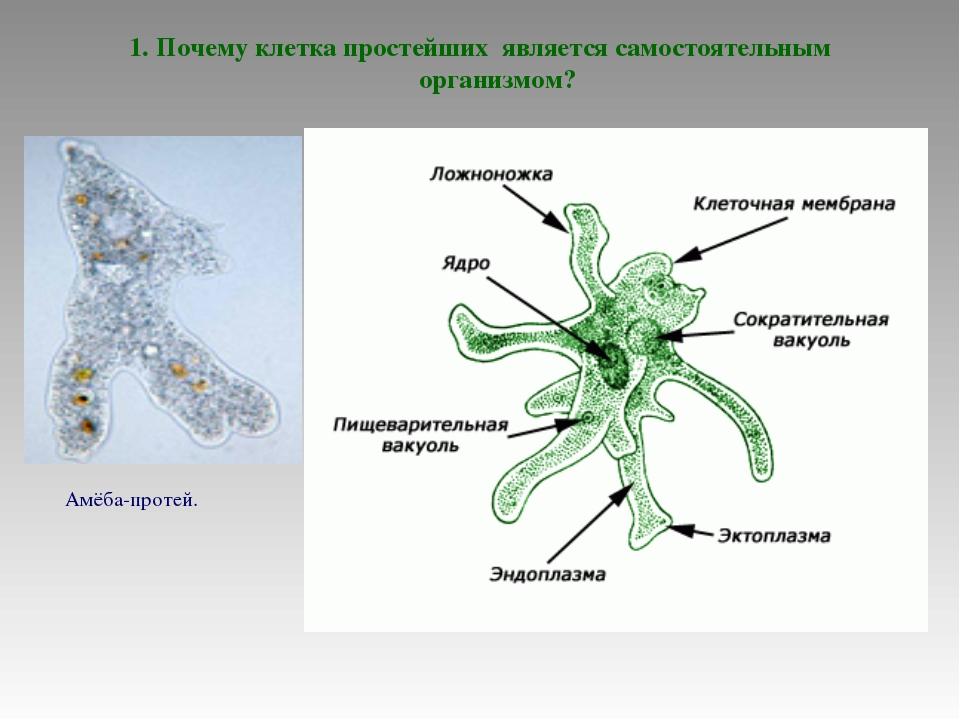 1. Почему клетка простейших является самостоятельным организмом? Амёба-протей.