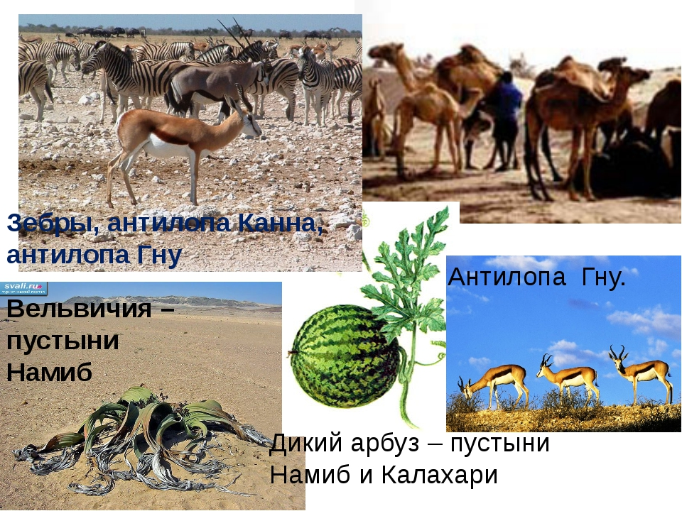 Дикий арбуз – пустыни Намиб и Калахари Антилопа Гну. Зебры, антилопа Канна, а...