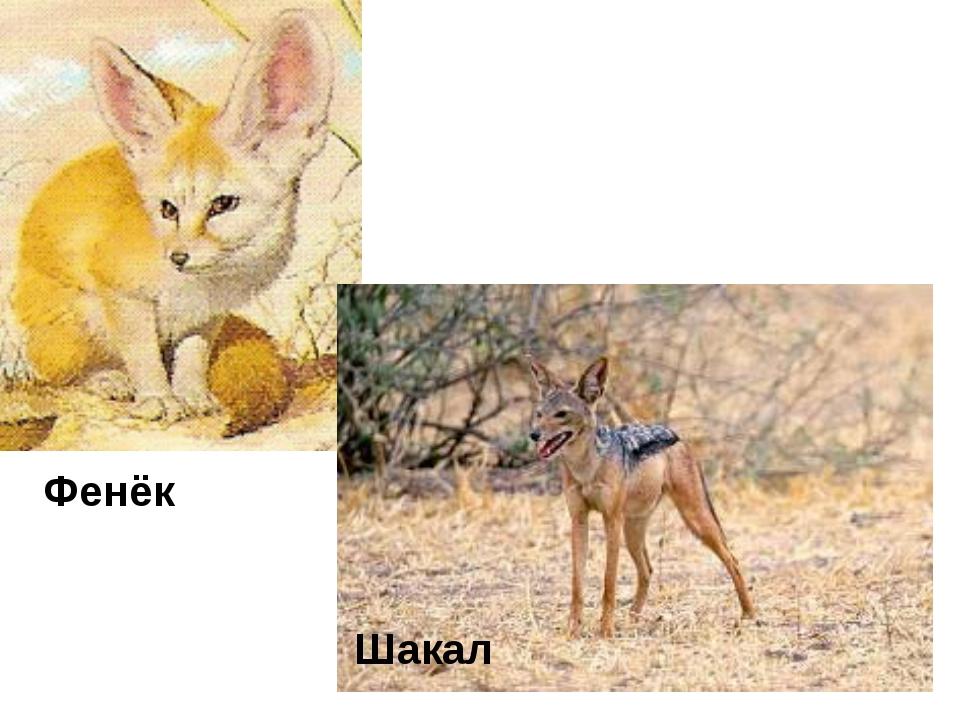 Фенёк Шакал