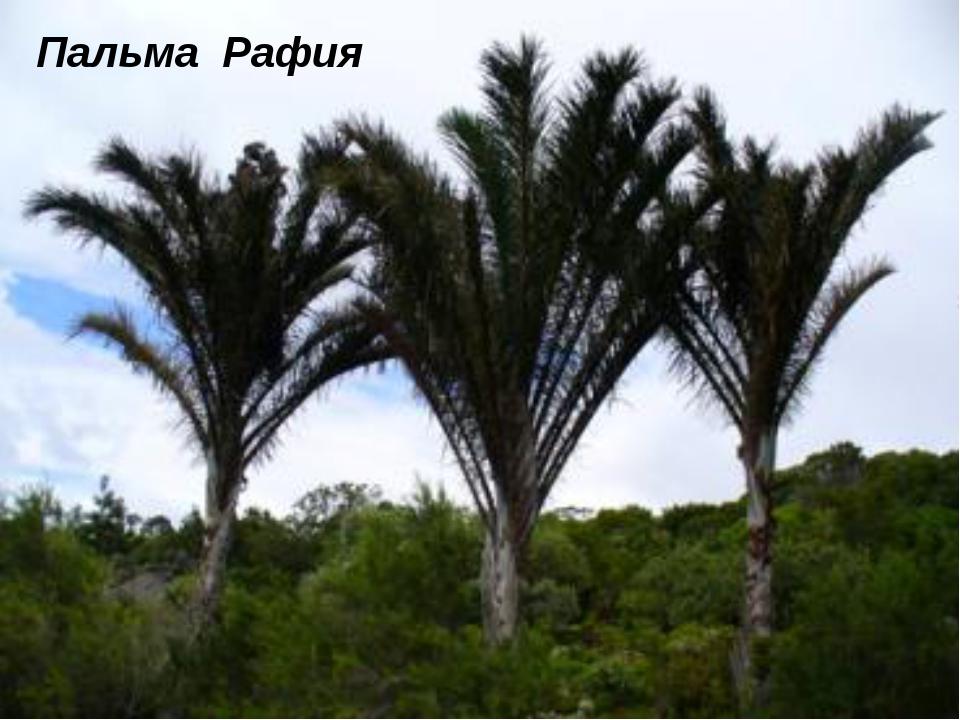 Пальма Рафия