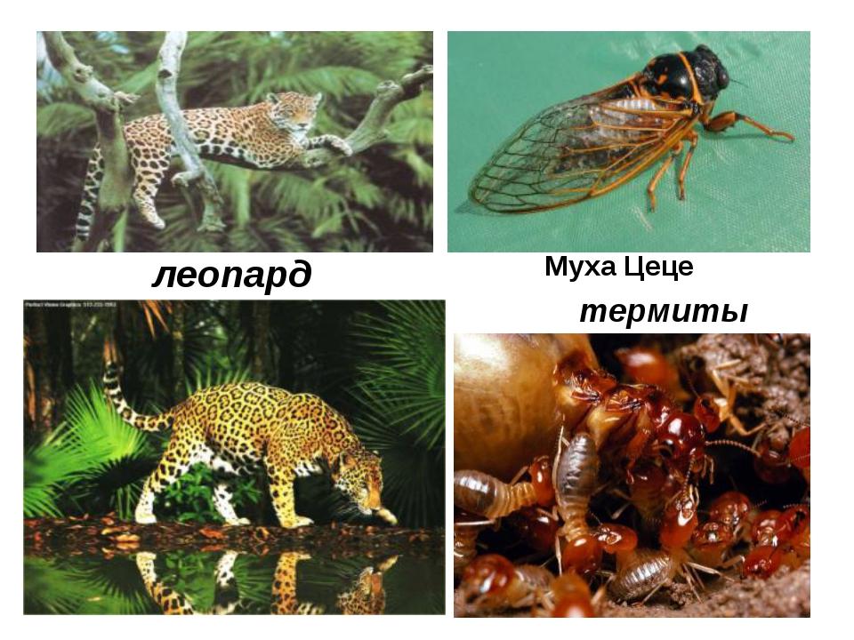 леопард Муха Цеце термиты