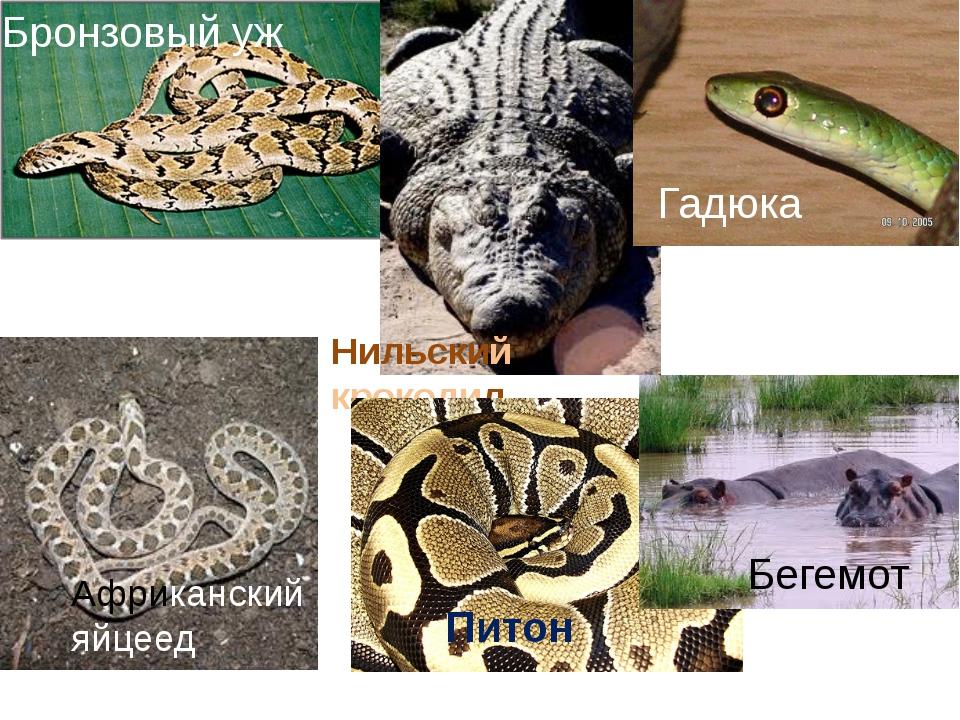 Бронзовый уж Нильский крокодил Африканский яйцеед Питон Гадюка Бегемот