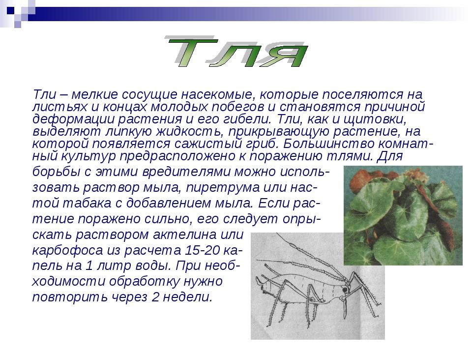Тли – мелкие сосущие насекомые, которые поселяются на листьях и концах молоды...