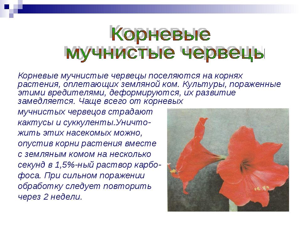 Корневые мучнистые червецы поселяются на корнях растения, оплетающих земляной...