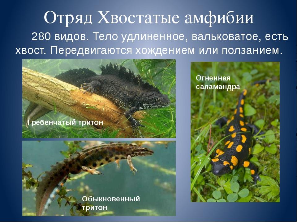 Отряд Хвостатые амфибии 280 видов. Тело удлиненное, вальковатое, есть хвост....