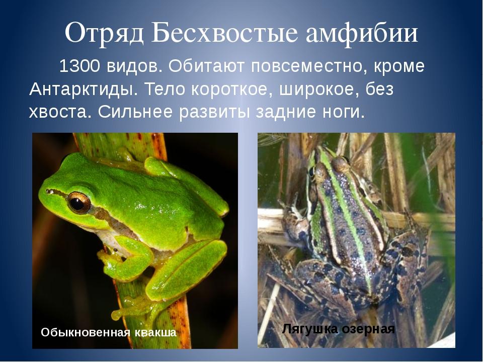 Отряд Бесхвостые амфибии 1300 видов. Обитают повсеместно, кроме Антарктиды. Т...