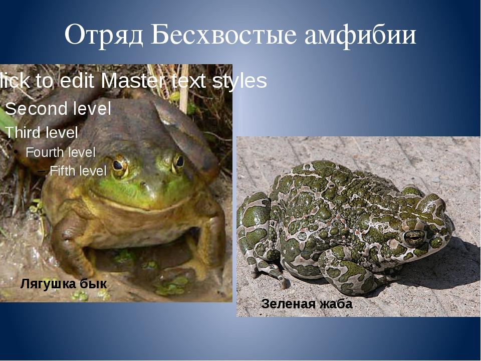 Отряд Бесхвостые амфибии Лягушка бык Зеленая жаба Подумайте, чем жабы отличаю...