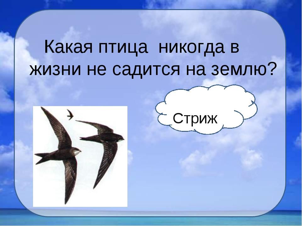 Какая птица никогда в жизни не садится на землю? Стриж