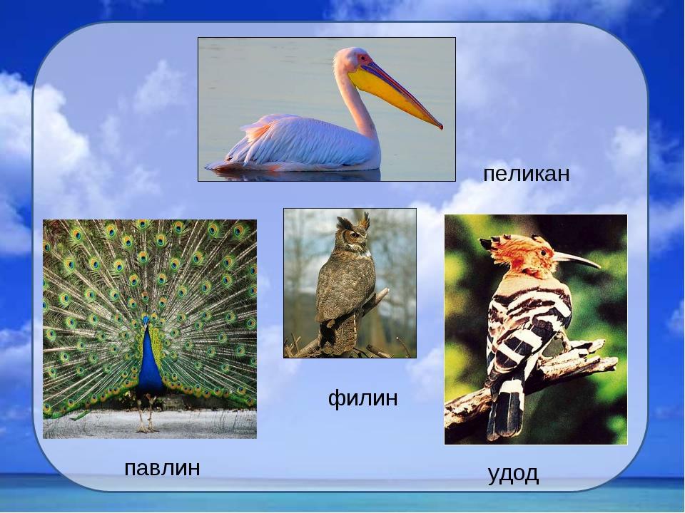 пеликан филин удод павлин