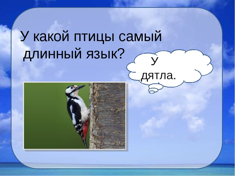 У какой птицы самый длинный язык? У дятла.