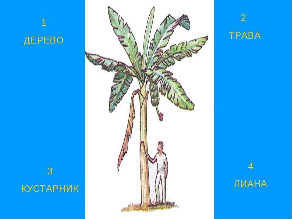 1 ДЕРЕВО 2 ТРАВА 3 КУСТАРНИК 4 ЛИАНА