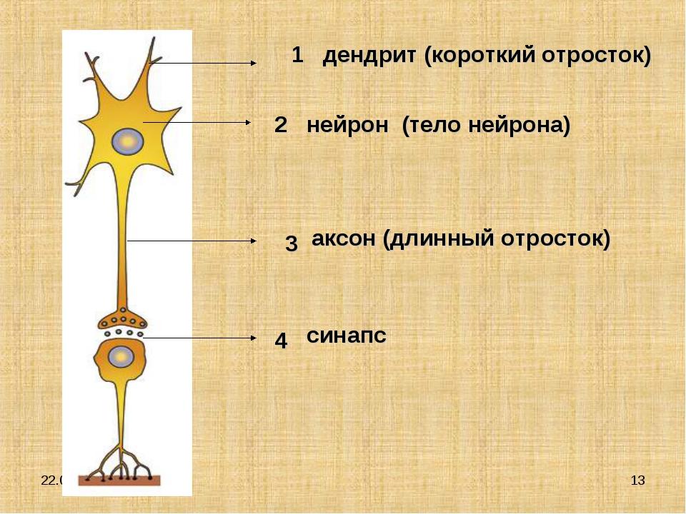 * * 1 2 3 4 дендрит (короткий отросток) нейрон (тело нейрона) аксон (длинный...