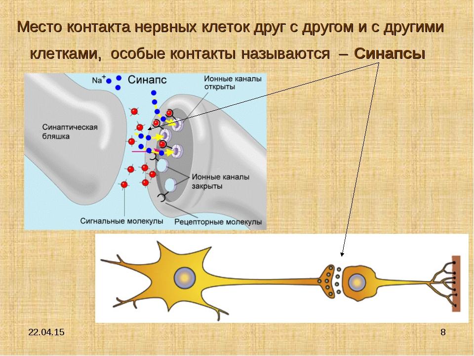 * * Место контакта нервных клеток друг с другом и с другими клетками, особые...