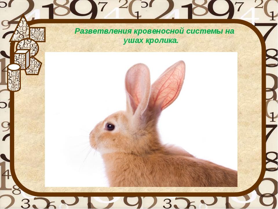 Разветвления кровеносной системы на ушах кролика.
