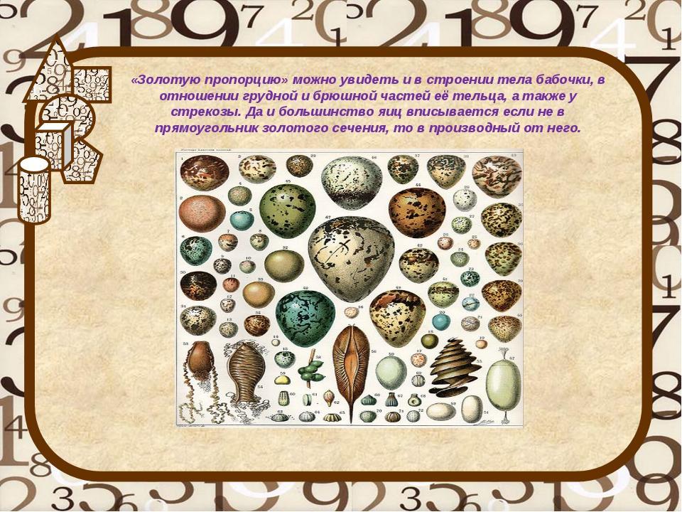 «Золотую пропорцию» можно увидеть и в строении тела бабочки, в отношении груд...