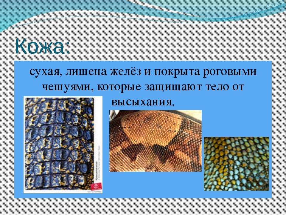 Кожа: сухая, лишена желёз и покрыта роговыми чешуями, которые защищают тело о...