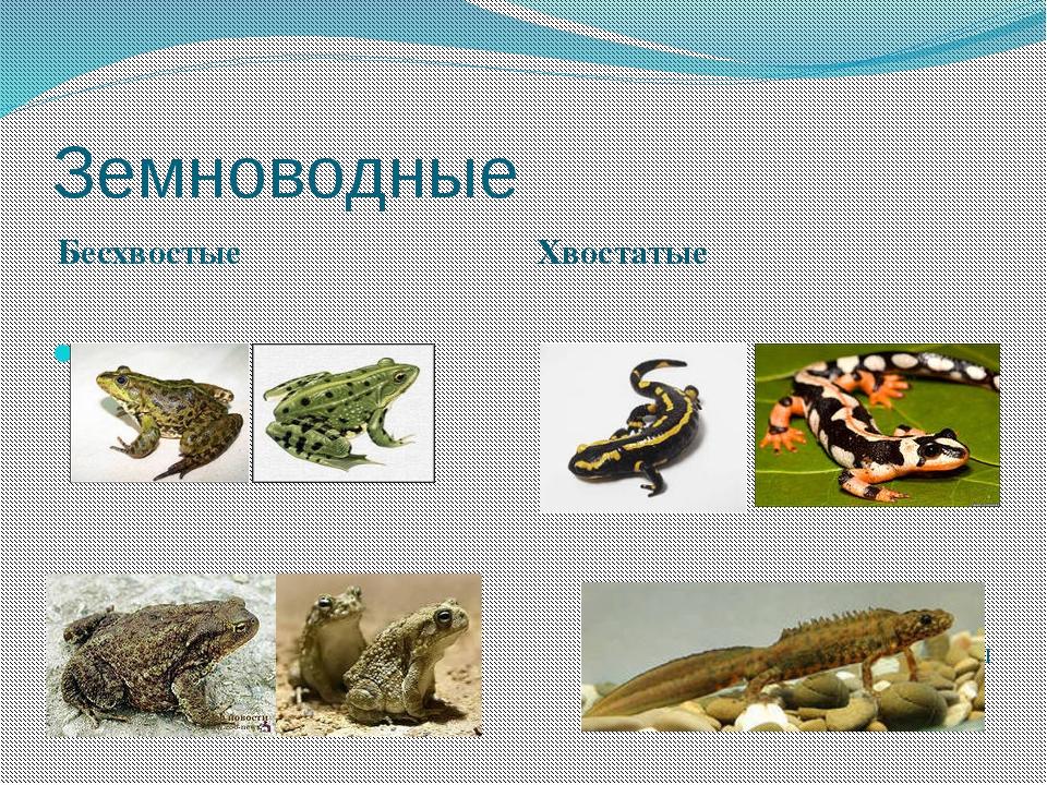 Земноводные Бесхвостые Хвостатые Лягушки Жабы Саламандры Тритоны
