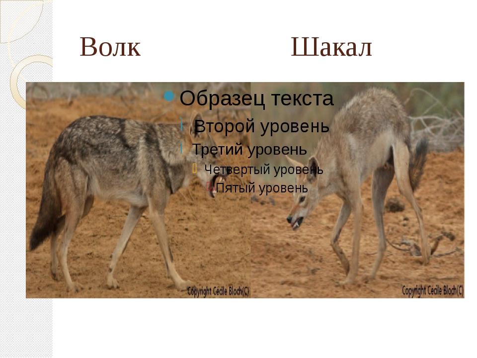 Волк Шакал
