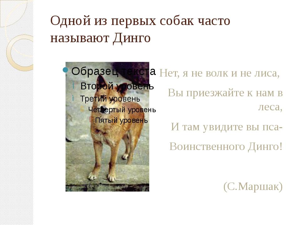 Одной из первых собак часто называют Динго Нет, я не волк и не лиса, Вы приез...
