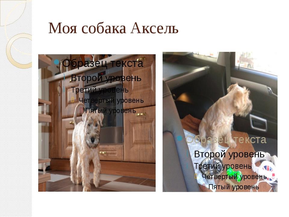 Моя собака Аксель