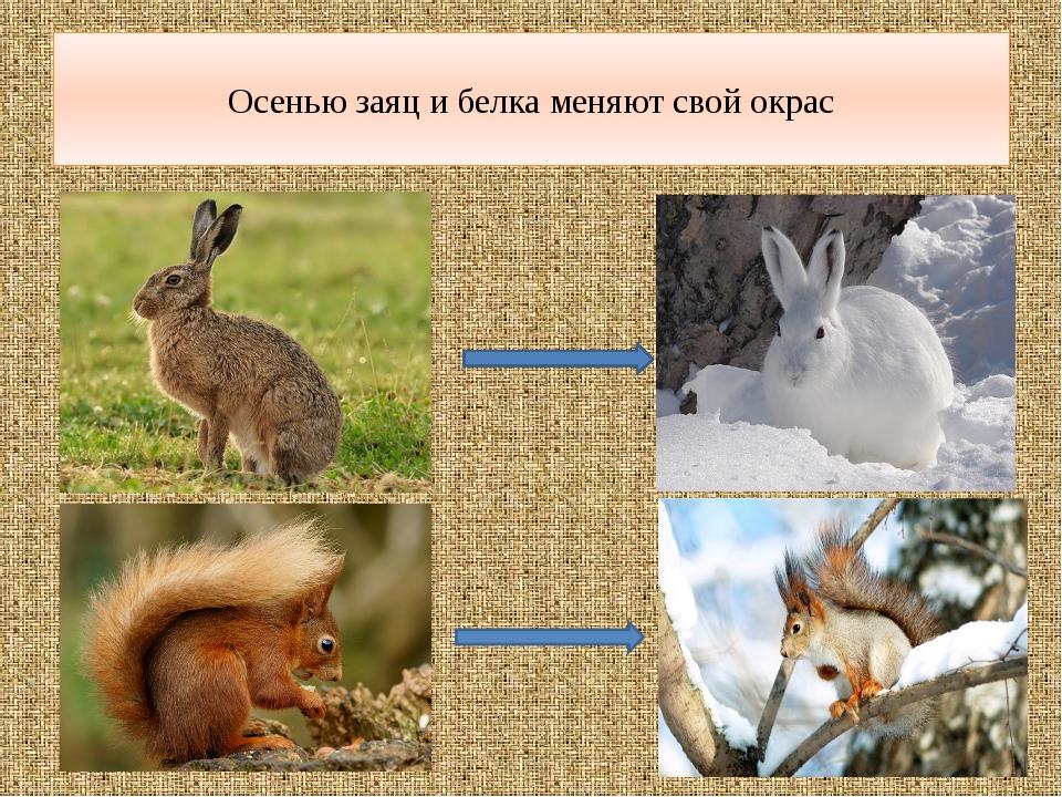 Осенью заяц и белка меняют свой окрас