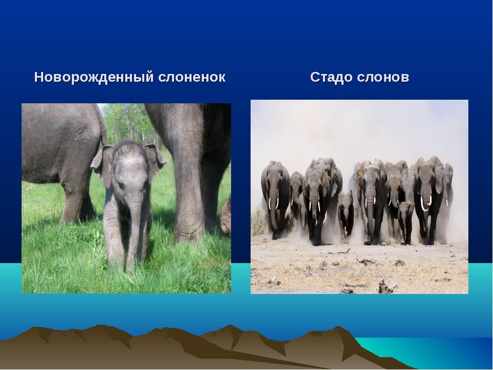 Новорожденный слоненок Стадо слонов