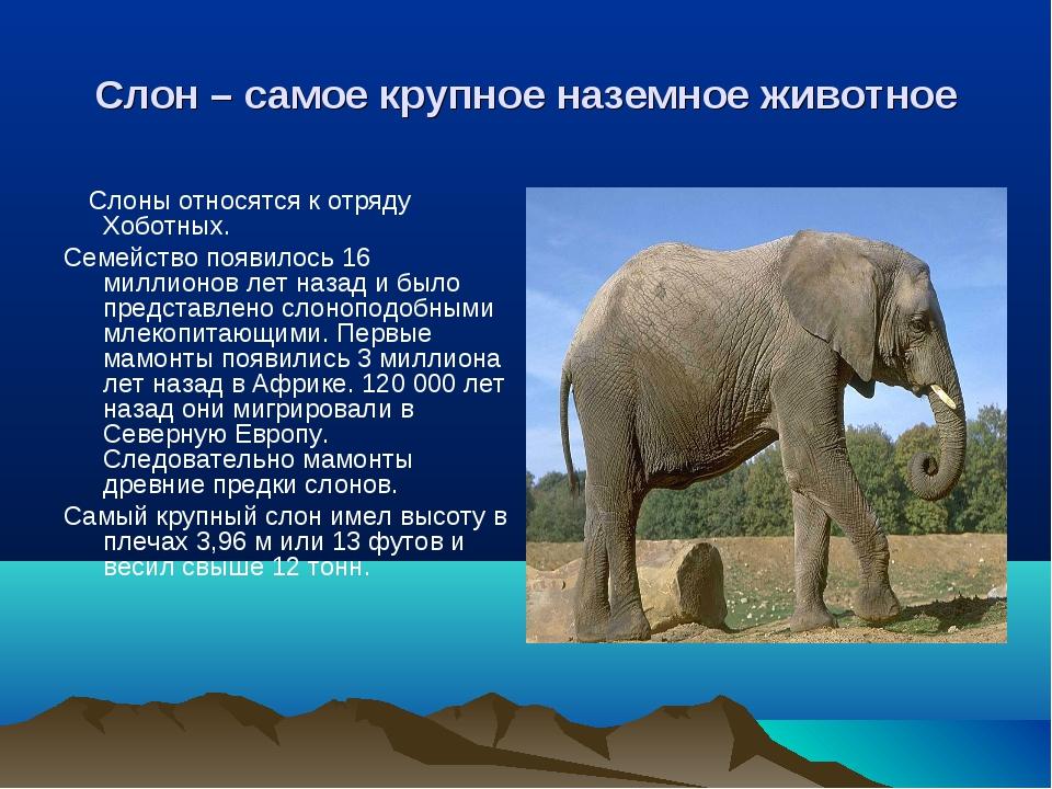 Слон – самое крупное наземное животное Слоны относятся к отряду Хоботных. Сем...