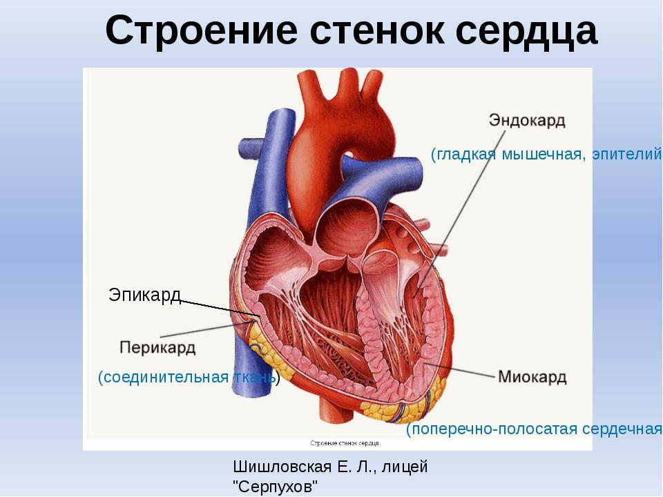 Строение стенок сердца (соединительная ткань) (поперечно-полосатая сердечная)...