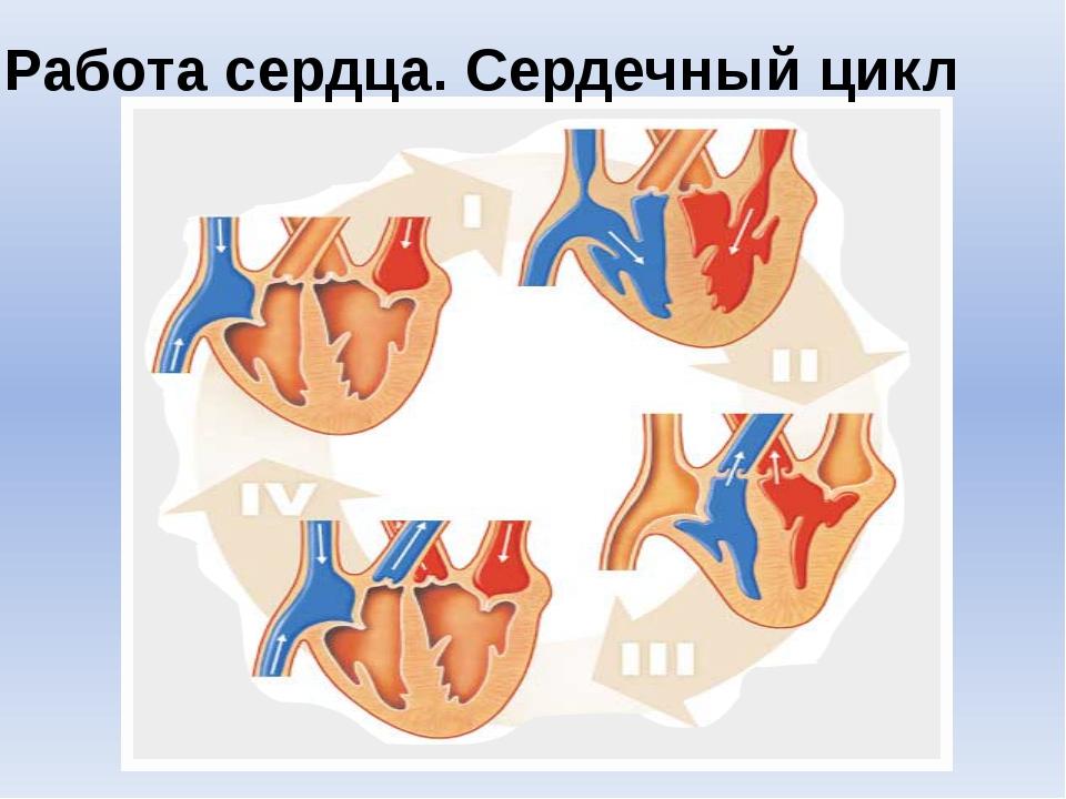 """Работа сердца. Сердечный цикл Шишловская Е. Л., лицей """"Серпухов"""""""