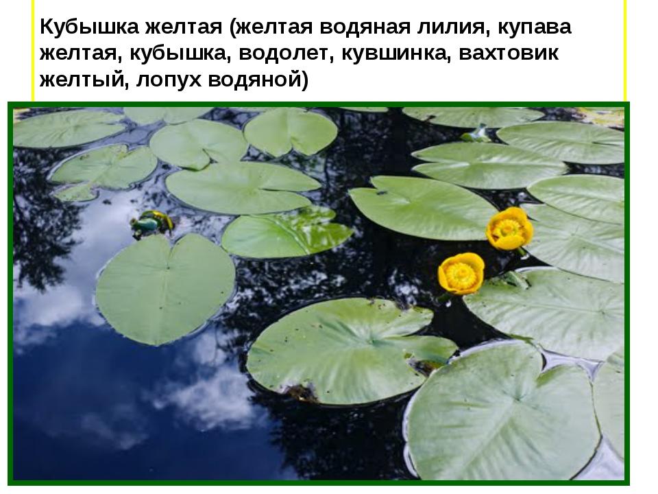 Кубышка желтая (желтая водяная лилия, купава желтая, кубышка, водолет, кувши...