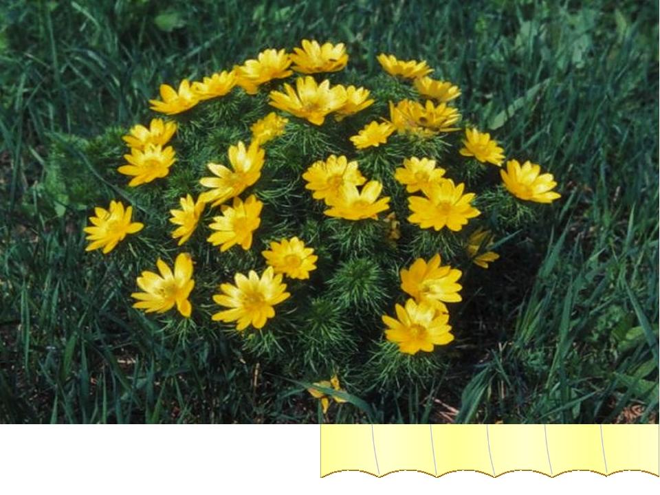 Адонис (Горицвет весенний) Сравните дроби и узнаете цветок, занесенный в Крас...