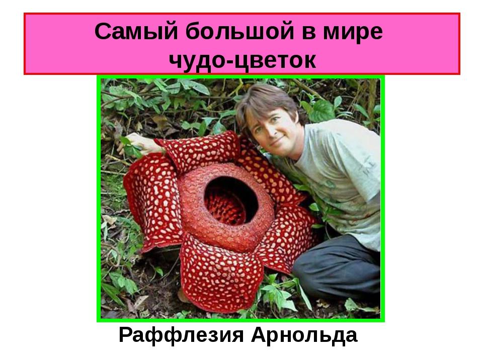 Самый большой в мире чудо-цветок Раффлезия Арнольда
