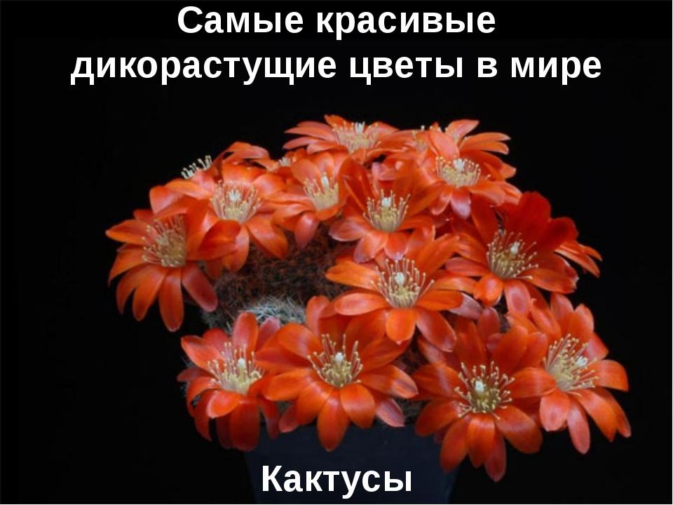 Самые красивые дикорастущие цветы в мире Кактусы