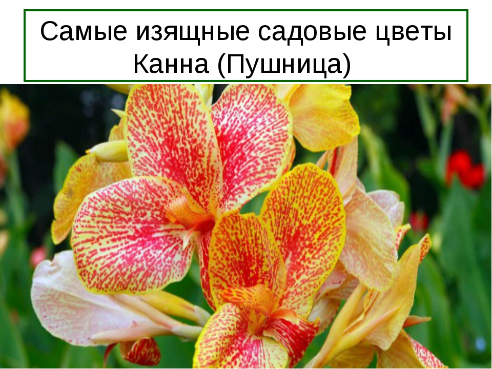Самые изящные садовые цветы Канна (Пушница)