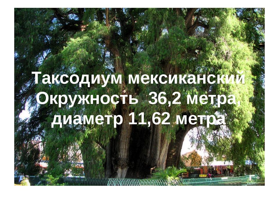 Таксодиум мексиканский Окружность 36,2 метра, диаметр 11,62 метра