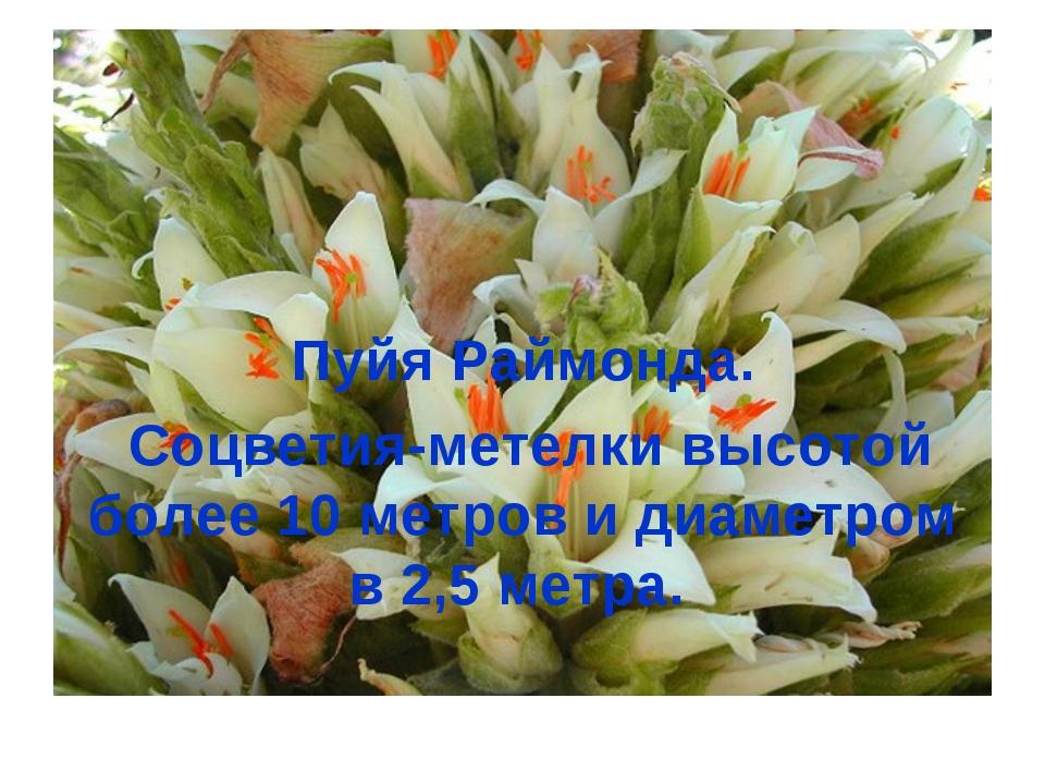 Пуйя Раймонда. Соцветия-метелки высотой более 10 метров и диаметром в 2,5 мет...