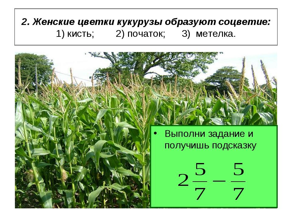 2. Женские цветки кукурузы образуют соцветие: 1) кисть; 2) початок; 3) метелк...