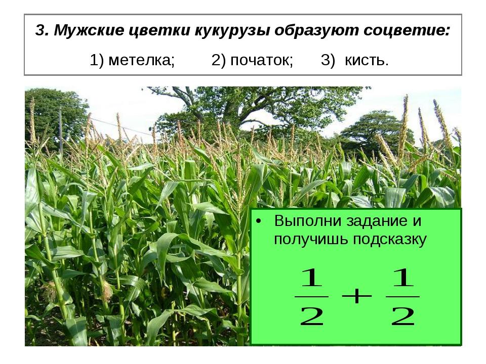 3. Мужские цветки кукурузы образуют соцветие: 1) метелка; 2) початок; 3) кист...