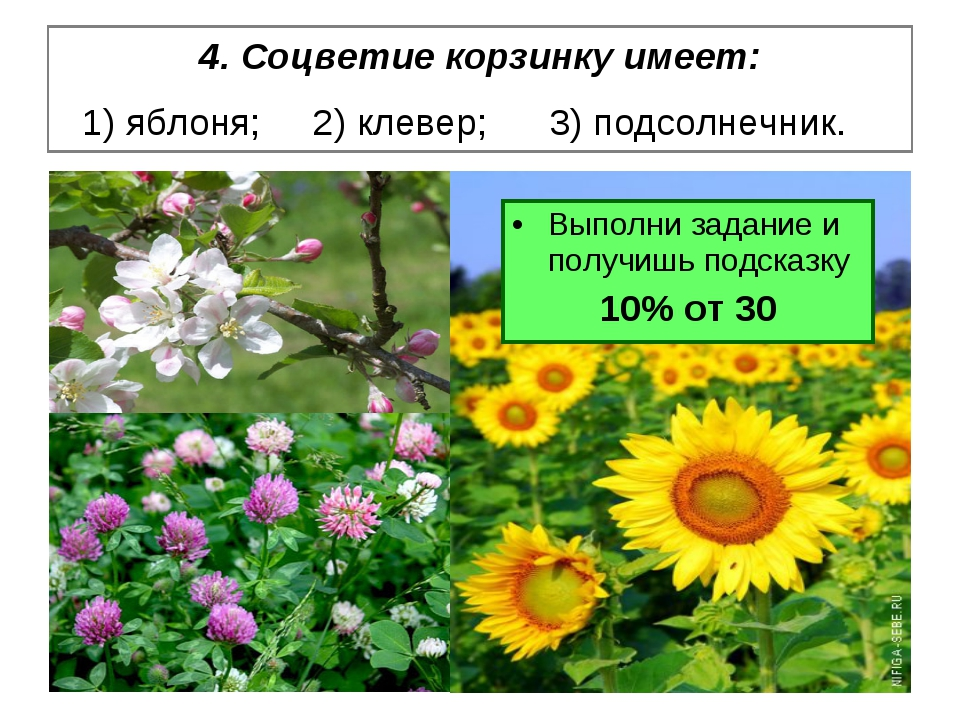 4. Соцветие корзинку имеет: 1) яблоня; 2) клевер; 3) подсолнечник. Выполни за...