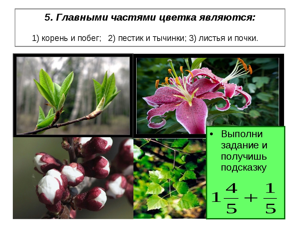 5. Главными частями цветка являются: 1) корень и побег; 2) пестик и тычинки;...