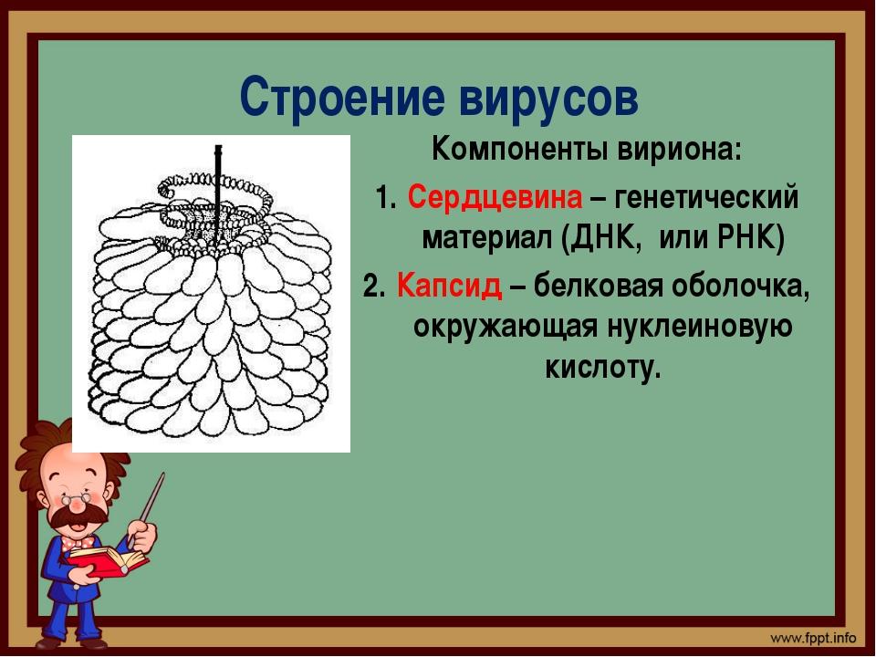 Строение вирусов Компоненты вириона: Сердцевина – генетический материал (ДНК,...