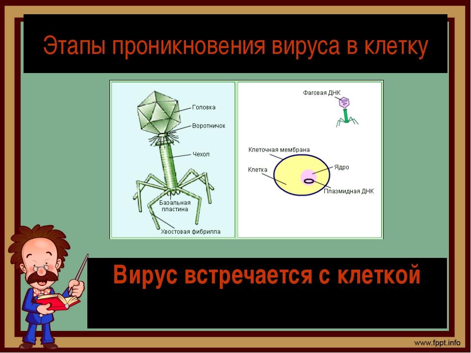 Этапы проникновения вируса в клетку Вирус встречается с клеткой