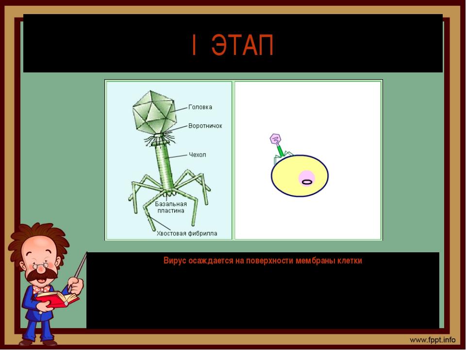 I ЭТАП Вирус осаждается на поверхности мембраны клетки