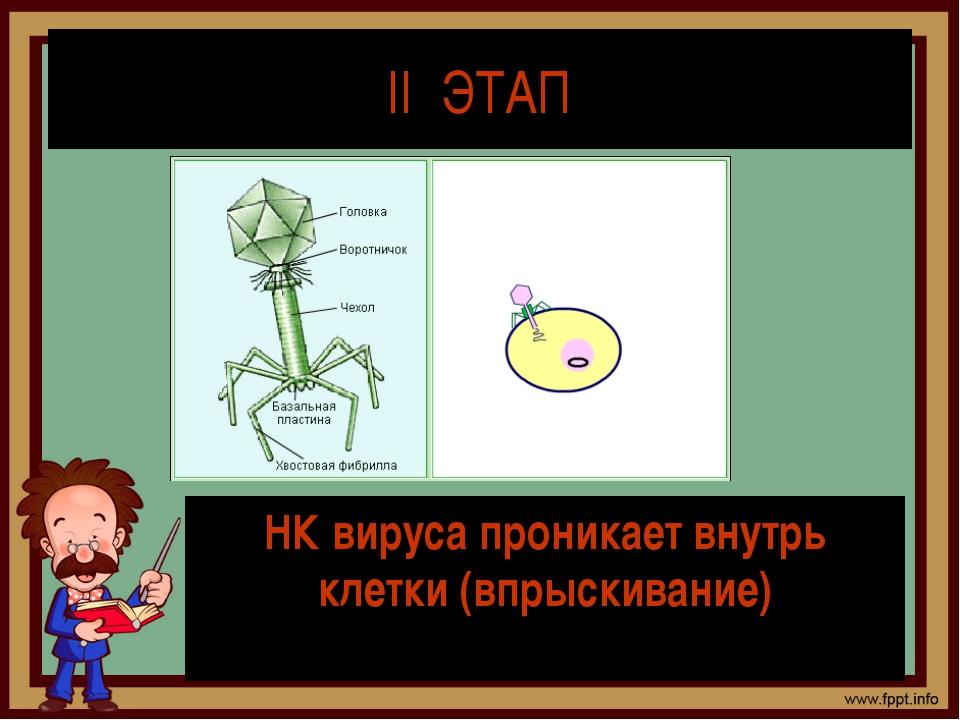 II ЭТАП НК вируса проникает внутрь клетки (впрыскивание)