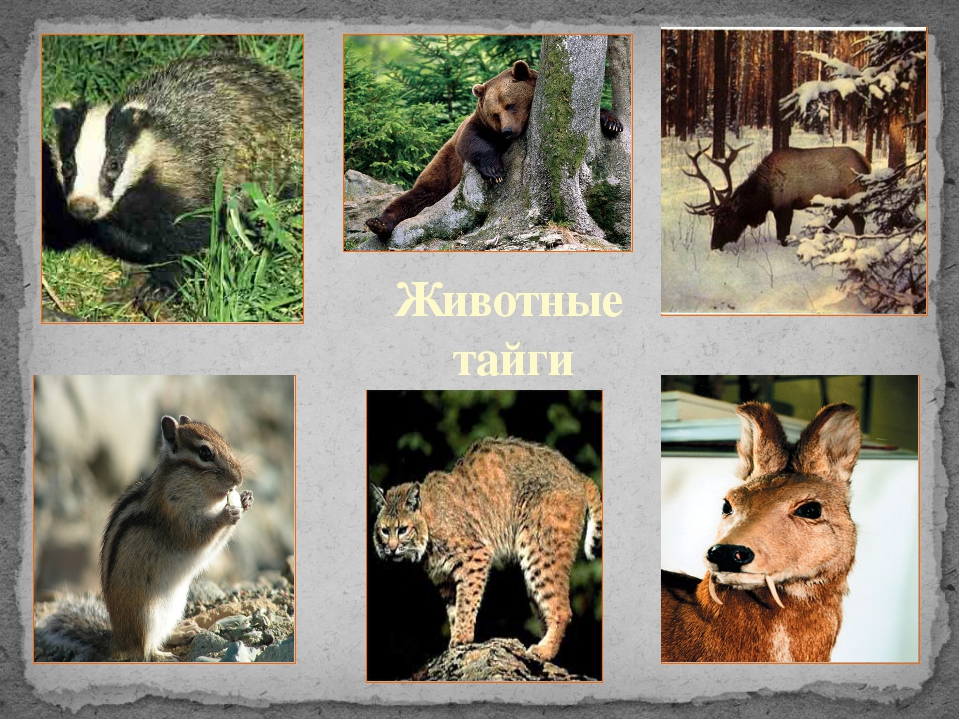 Животные тайги
