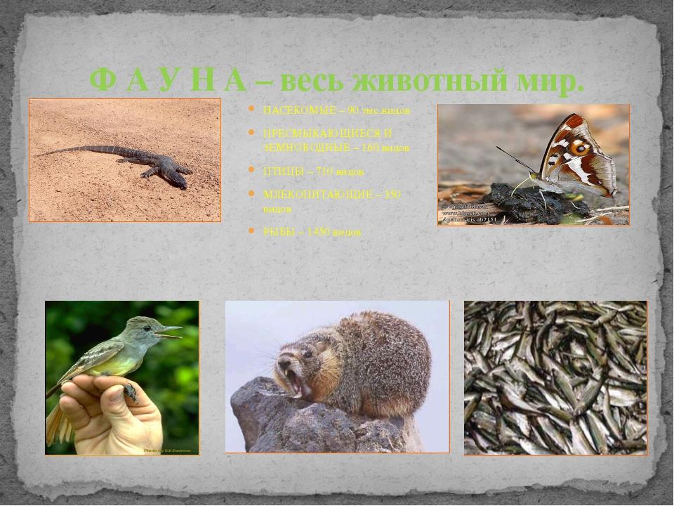 НАСЕКОМЫЕ – 90 тыс.видов ПРЕСМЫКАЮЩИЕСЯ И ЗЕМНОВОДНЫЕ – 160 видов ПТИЦЫ – 710...