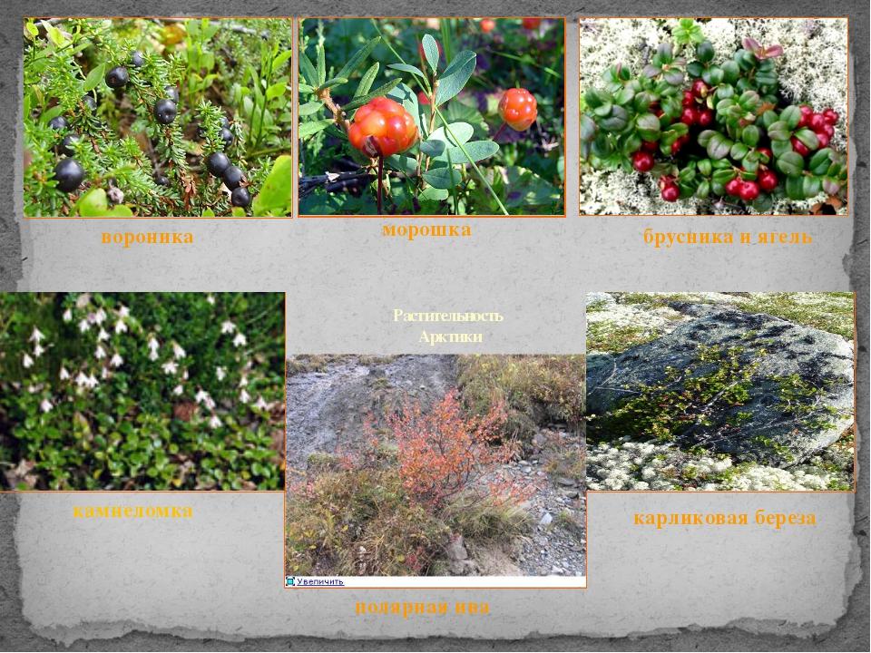 Растительность Арктики вороника брусника и ягель морошка полярная ива карлико...