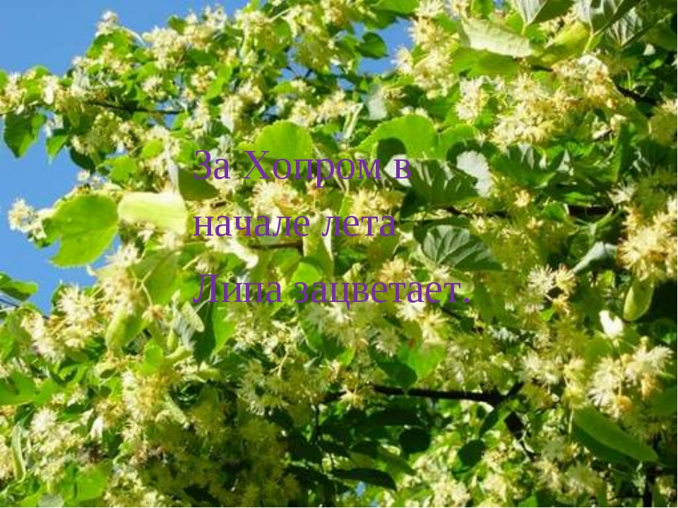За Хопром в начале лета Липа зацветает.