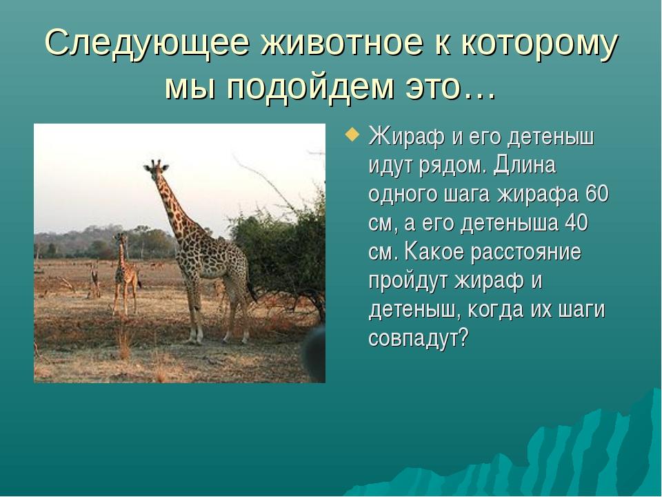 Следующее животное к которому мы подойдем это… Жираф и его детеныш идут рядом...